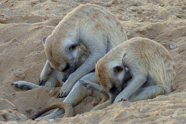 Meerkats (suricates) grooming, Kgalagadi Transfrontier Park, by Mike Weber, Jen Funk Weber