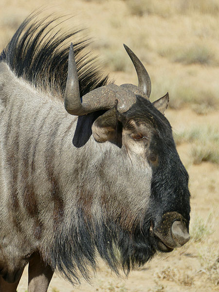 Wildebeest glamour shot, Kgalagadi Transfrontier Park, photo by Mike Weber, Jen Funk Weber