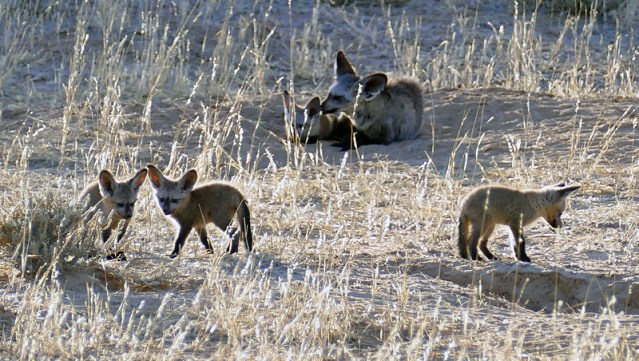 Bat-eared fox kits with father, outside den, Kgalagadi Transfrontier Park, photo by Mike Weber, Jen Funk Weber