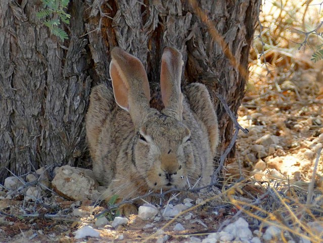 Cape hare unwilling to leave its shade. Photo by Mike Weber.