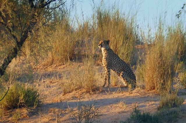 Cheetah sitting in the setting sun, Kgalagadi Transfrontier Park, photo by Mike Weber, Jen Funk Weber