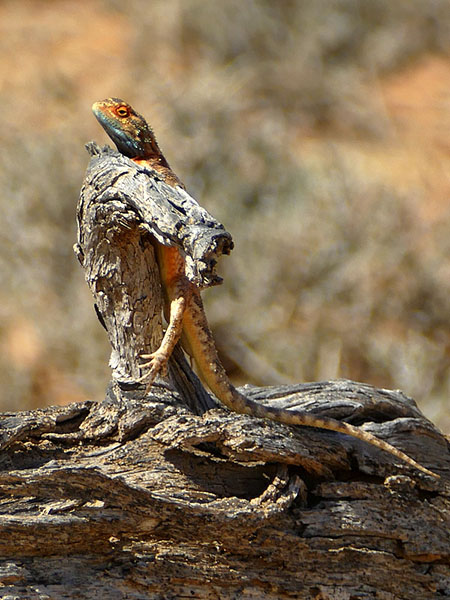Colorful ground agama. Photo by Mike Weber.