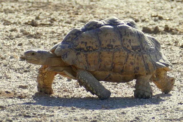 Kalahari tent tortoise or serrated tortoise, Kgalagadi Transfrontier Park, photo by Mike Weber, Jen Funk Weber