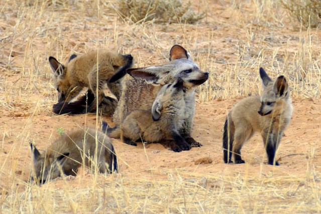 Patient bad-eared fox dad. Photo by Mike Weber.