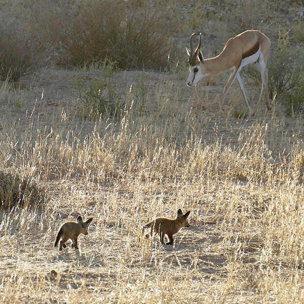 A springbok grazes around a bat-eared fox den. Photo by Mike Weber.