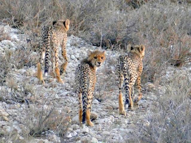 Three cheetah cubs, Kgalagadi Transfrontier Park, photo by Mike Weber, Jen Funk Weber