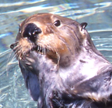 sea otter face