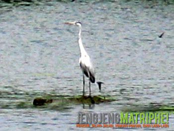 Cangak Abu/Grey Heron (Ardea cinerea)