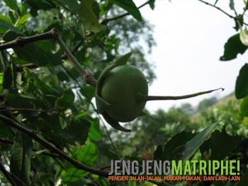 Buah Pidada (Sonneratia cesolaris)