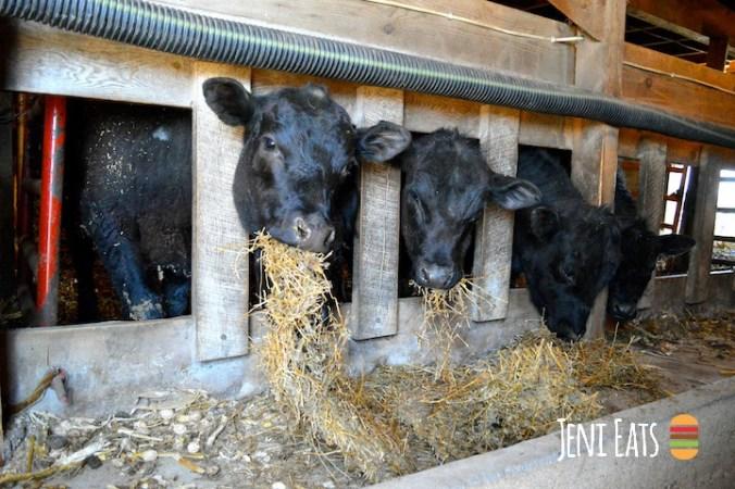 cows alfalfa