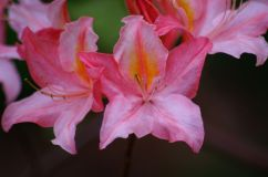 Rhododendron14