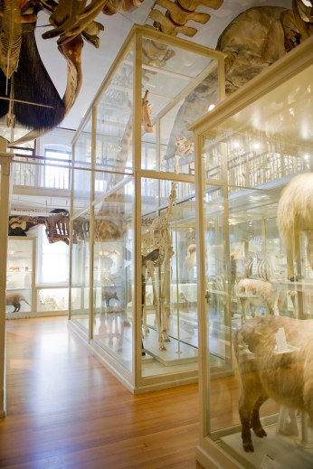As you may have noticed, giraffes are quite commonplace in natural history museums of this period.