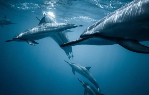 dauphins hawaï