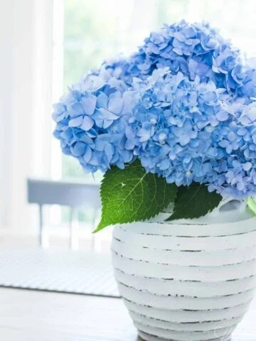 how to stop hydrangeas from drooping