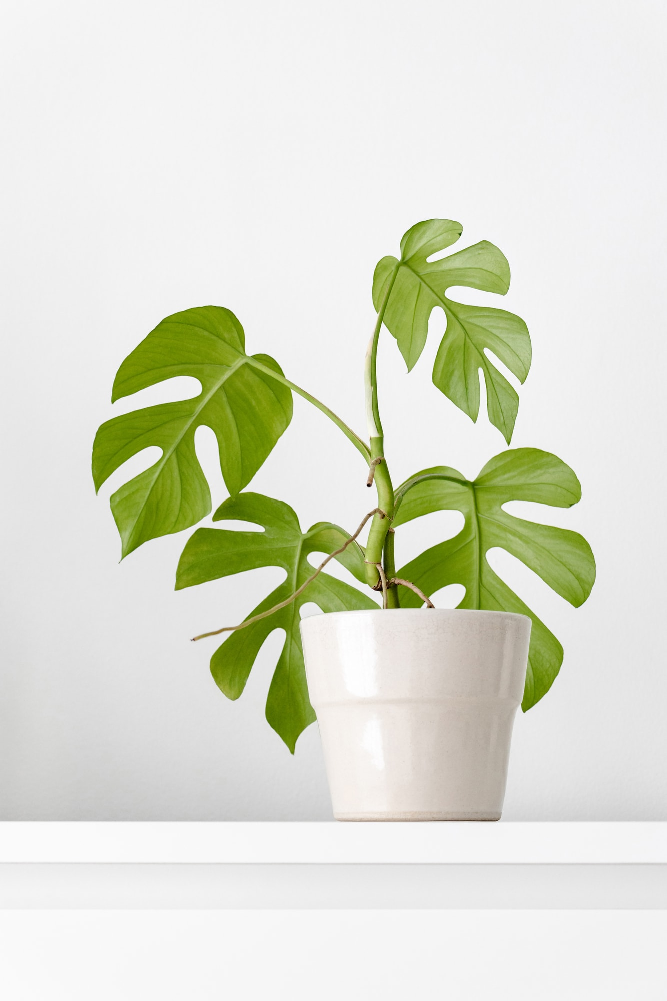mini monstera house plant