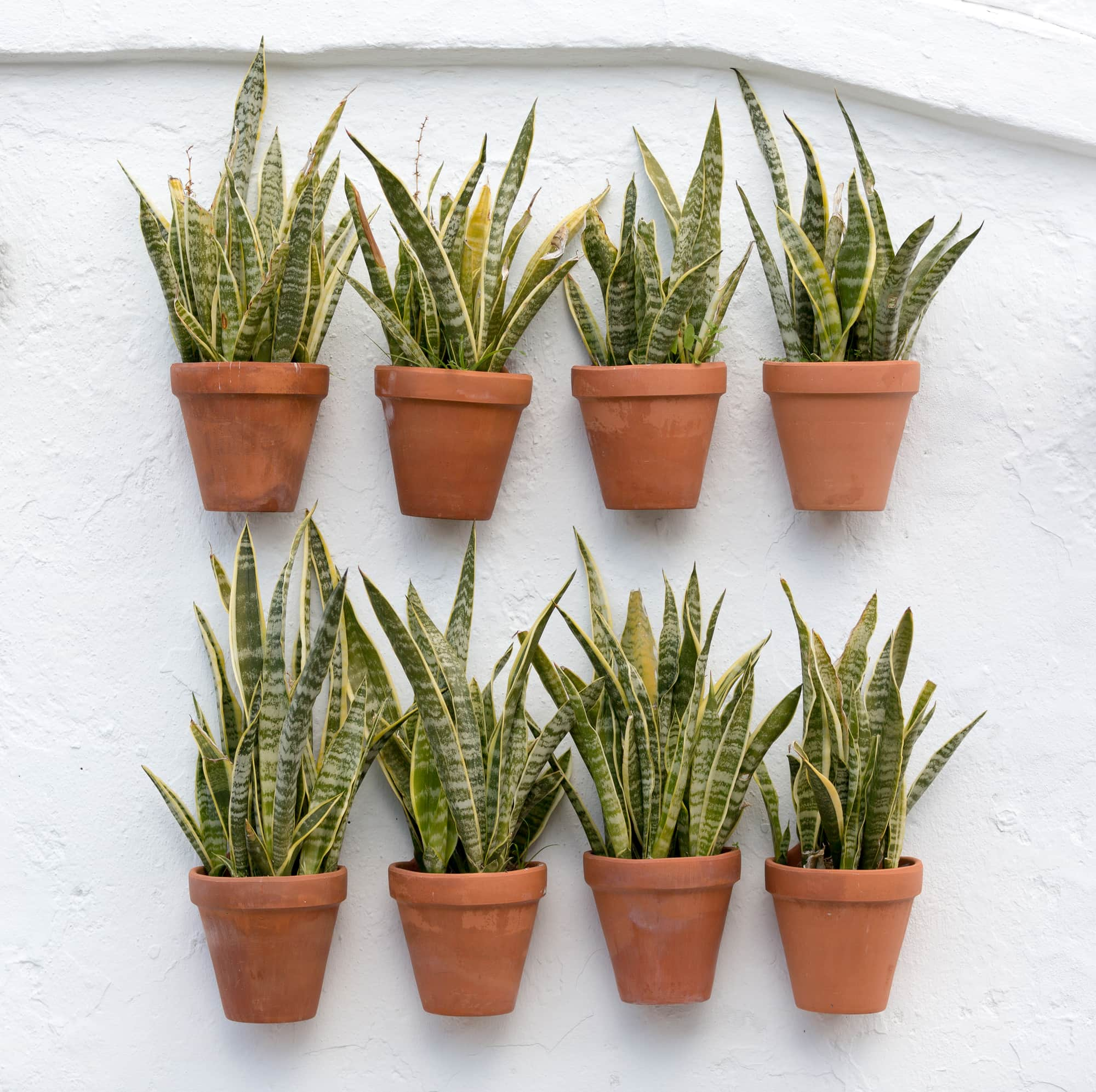 two rows of potted snake plants in terracotta pots