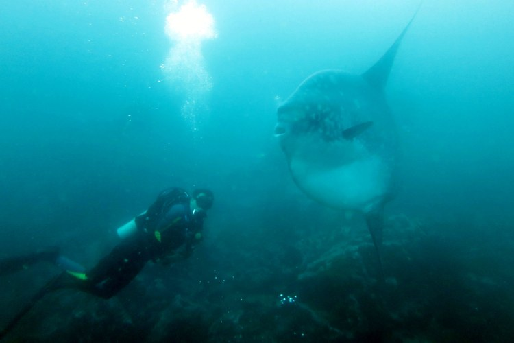 A sunfish next to a scuba diver in the Galapagos