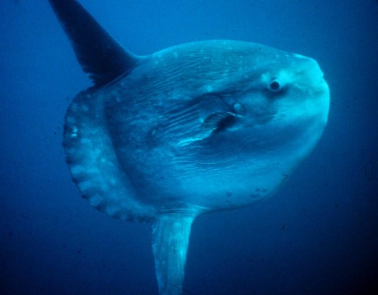 A sunfish, or mola mola