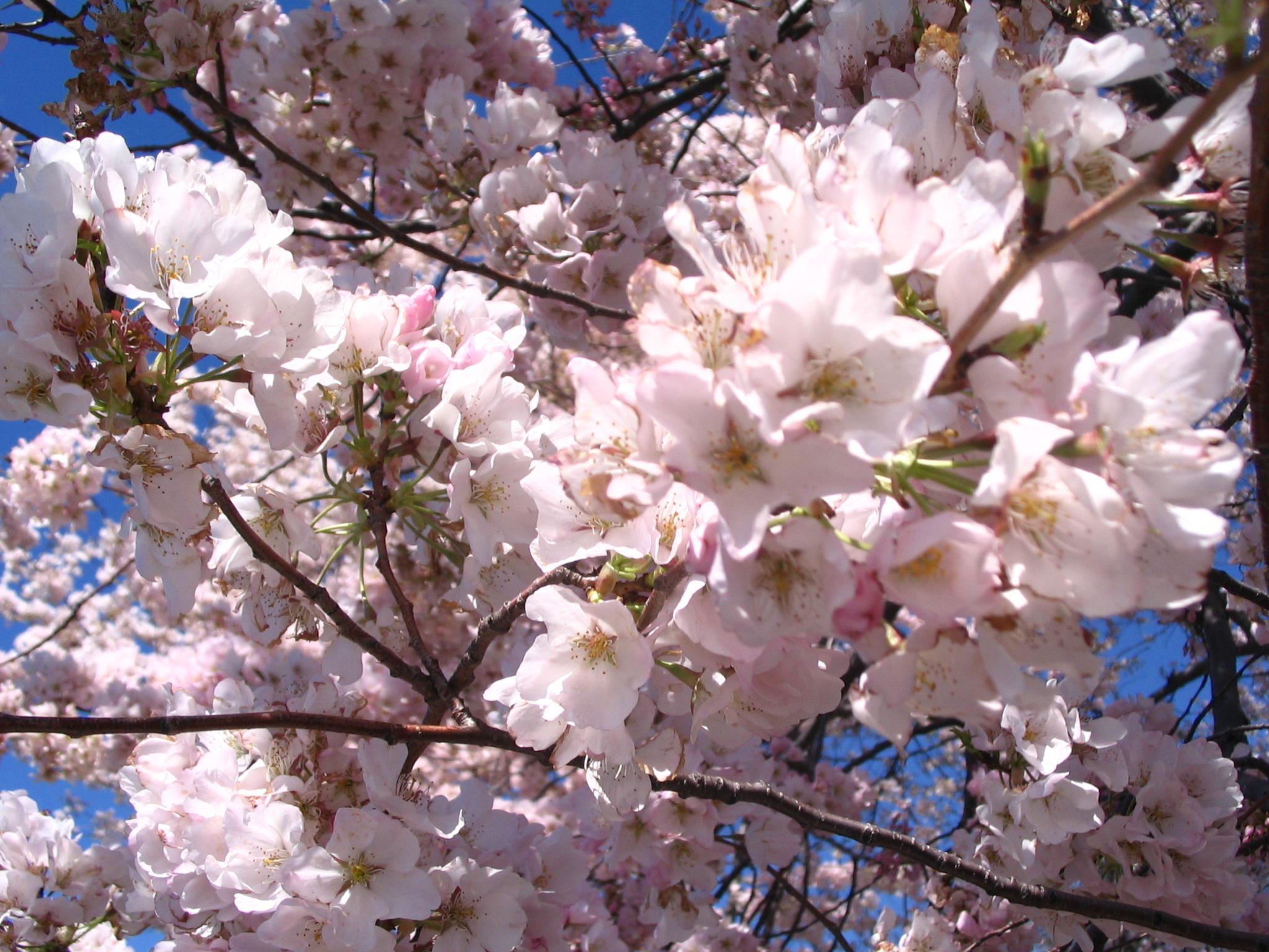 blossoms09