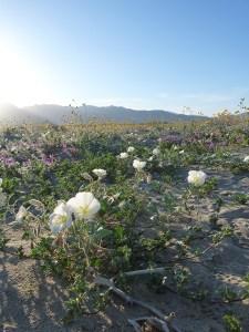 DesertFlowers2-3_8_2015