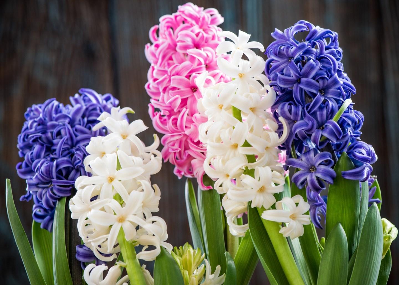 hyacinths-marcin_jucha_ss