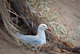 Room with a view - nesting Silver gull