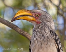 Southern yellow-billed hornbill on the lookout for scraps.