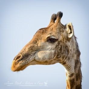 Giraffe portrait in colour
