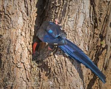 Green wood hoopoe foraging for insects