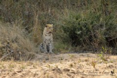 Long-distance leopard
