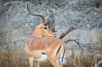 Impala ram with thorn bushes