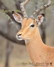 Impala ram in profile