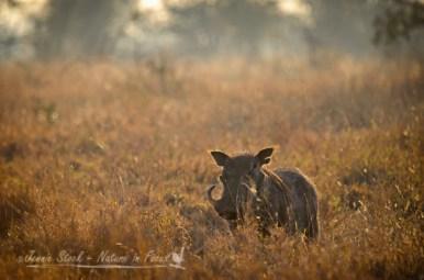 Warthog at sunrise