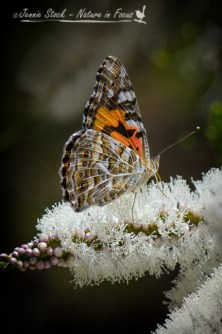 Butterfly on melaleuca flower