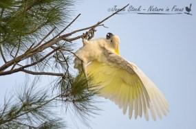 Sulphur-Crested Cockatoo fooling around