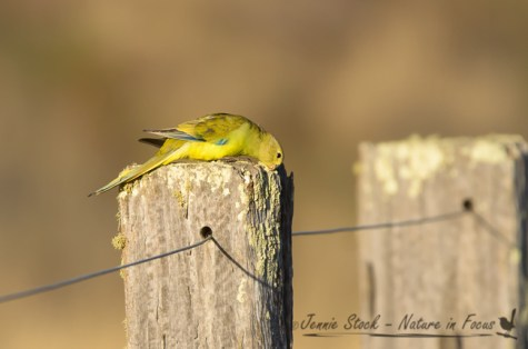 Elegant Parrot feeding on lichen on fencepost