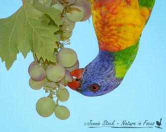 Rainbow lorikeet enjoying our grapes