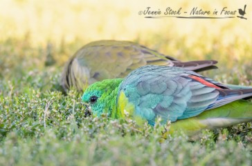 Red-rumped Parrots