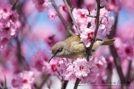 Brown Honeyeater on spring blossom