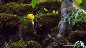 Yellowhead or Mohua on Ulva Island - gorgeous rare endemic