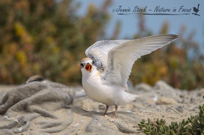 Juvenile Fairy Tern at Rous Head - used in Birdlife magazine
