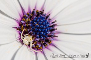 White spider on Osteospermum, a South African daisy popular in Perth gardens
