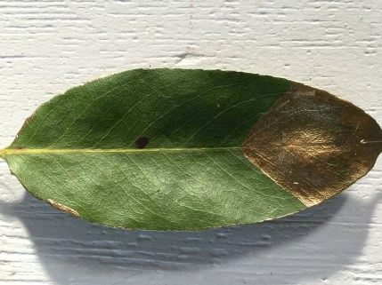 living leaf with gold acrylic edging and tip