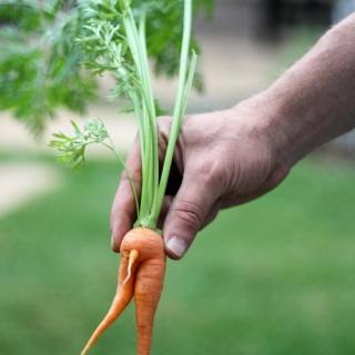 Ever wonder how carrots reproduce???