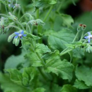 What is Borage?