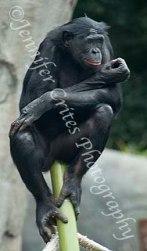 orangutang sitting