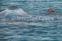 mother and calf swimming away