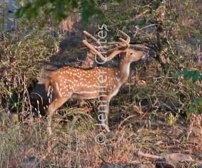 deer 334
