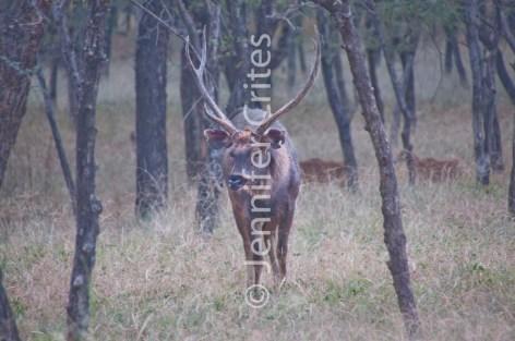 Ranthambhore deer 368