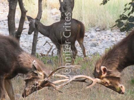 Ranthambhore preserve 532
